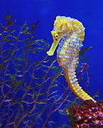 Sea Horse Photos - Yellow Sea Horse by Russ Harris