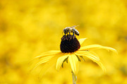 Cheery Prints - Yellow sea of flowers - and a bee Print by Matthias Hauser
