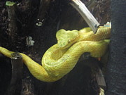 Ann Fellows - Yellow Snake