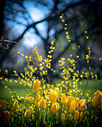 Yellow Flowers Posters - Yellow Spring Blooms Poster by Sonja Quintero