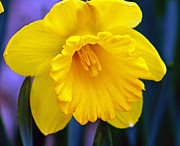 Kkphoto1 Posters - Yellow Spring Daffodil Poster by Kay Novy