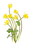 Green Leaves Posters - Yellow spring wild flowers marsh marigolds Poster by Elena Elisseeva