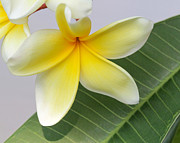 Macro Art Framed Prints - Yellow Star Plumeria Framed Print by Sabrina L Ryan