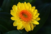 Strawflower Photos - Yellow Strawflower by Carol Welsh