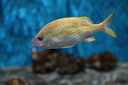 Tropical Fish Posters - Yellow Striped Fish 5D25082 Poster by Wingsdomain Art and Photography