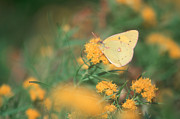 Bucko Productions Photography  - Yellow Sulfur Butterfly