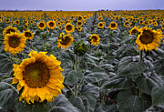 Raining Photos - Yellow Sunflower Field by Dave Dilli
