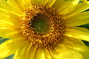 Wildflowers Prints - Yellow Sunshine Print by Neal  Eslinger