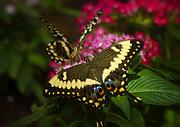Yellow Swallowtail Butterflies  Print by Saija  Lehtonen