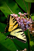 Nectar Metal Prints - Yellow Swallowtail Butterfly Metal Print by Amy Cicconi