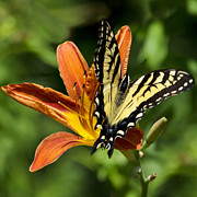 Swallowtail Butterflies Posters - Yellow Swallowtail Butterfly Poster by Christina Rollo