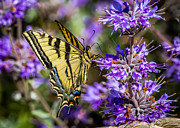 Anise Framed Prints - Yellow Swallowtail Framed Print by Kim Michaels