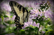 Rosanne Jordan - Yellow Swallowtail on Bee Balm