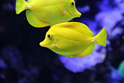 Tropical Fish Posters - Yellow Tang Tropical Fish 5D24880 Poster by Wingsdomain Art and Photography