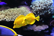 Tropical Fish Posters - Yellow Tang Tropical Fish 5D24887 Poster by Wingsdomain Art and Photography