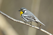 Wood Warbler Prints - Yellow-throated Warbler Side View Print by Alan Lenk