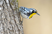 Wood Warbler Prints - Yellow-throated Warbler Tree Side Print by Alan Lenk