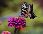 Kkphoto1 Posters - Yellow Tiger Swallowtail Butterfly Poster by Kay Novy