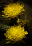 Yellow Cactus Flower Photos - Yellow Torch Cactus  by Saija  Lehtonen