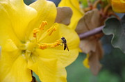 Napa Valley Photos - Yellow Tree Flower with small insect by Amy Fose