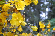 Napa Valley Photos - Yellow Tree Flowers by Amy Fose