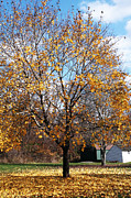 Yellow Leaves Photo Prints - Yellow Tree Print by John Rizzuto