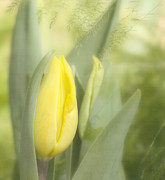 Yellow Tulips Posters - Yellow Tulip Bud Poster by Kim Hojnacki