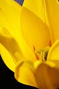 Larry Ricker - Yellow Tulip Closeup