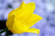 Larry Ricker - Yellow Tulip