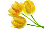 Yellow Tulips Print by Charline Xia