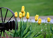 Garden Plow Photos - Yellow Tulips by Deena Stoddard