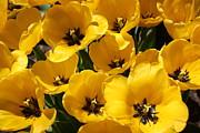 Yellow Tulips Print by Dora Sofia Caputo