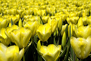 Frits Selier - Yellow tulips
