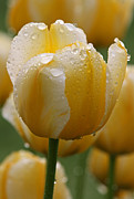 Blume Prints - Yellow Tulips Print by Juergen Roth