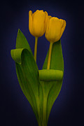 Yellow Tulips On A Blue Background Print by Eva Kondzialkiewicz