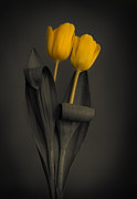 Vibrant Color Art - Yellow Tulips on a Grey Background by Eva Kondzialkiewicz