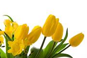 Yellow Tulips On White Print by Anna Kaminska