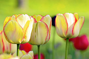 Bokhe Photos - Yellow tulips by Tommy Hammarsten