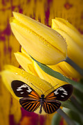 Butterfly Photos - Yellow Tulips with Orange and Black Butterfly by Garry Gay