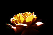Macro Photograph Originals - Yellow by Vishal Kumar