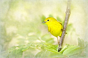 Yellow Warbler Posters - Yellow Warbler Art Poster by Renee Dawson