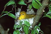 Yellow Warbler Posters - Yellow Warbler Dendroica Petechia Poster by Tom Vezo