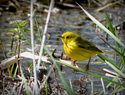 Warblers Prints - Yellow Warbler in the Marsh Print by Marcus Moller