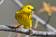 Ken Simonite - Yellow Warbler