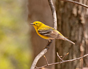 Warbler Photos - Yellow Warbler by Lara Ellis