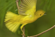Yellow Warbler Posters - Yellow Warbler Male Taking Flight Poster by Tom Vezo