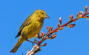 Yellow Warbler Framed Prints - Yellow Warbler Framed Print by Robert Bales
