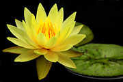 Dallas Art - Yellow Water Lily by Elizabeth Budd