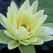 Water Lilly Photos - Yellow Water Lily Nymphaea by Heiko Koehrer-Wagner