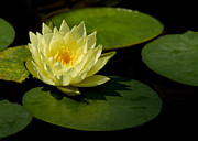 Florida Flowers Posters - Yellow Water Lily Sitting Pretty Poster by Sabrina L Ryan